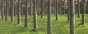 Paulownia livada